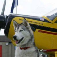 Siberian Husky meets Aviat Husky